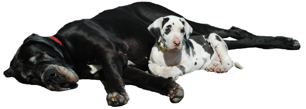 Deutsche Doggen, Welpen, Doggenzucht, Great Dane, Puppies, Rüden, Male, Hündinnen, Female, Ausstellung, Shows