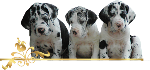 Deutsche Doggen, Welpen, Doggenzucht, Great Dane, Puppies, Rüden, Male, Hündinnen, Female