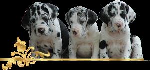 Deutsche Doggen, Welpen, Doggenzucht, Great Dane, Puppies, Rüden, Male, Hündinnen, Female