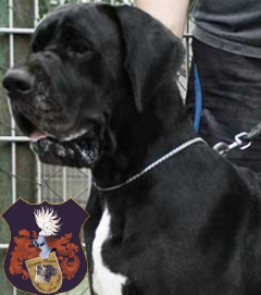 Deutsche Dogge, Great Dane, Doggenzucht