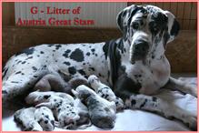 G-Litter of Austria Great Stars