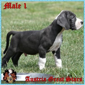 Rüde/Male 1 of Austria Great Stars