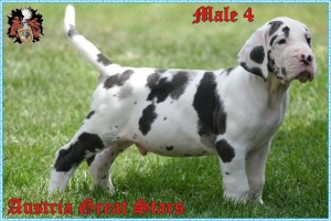 Rüde/Male 4 of Austria Great Stars