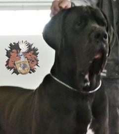 Deutsche Dogge Rüde Mon Bijou of Austria Great Stars