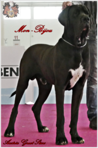 Deutsche Doggen Rüde Mon Bijou of Austria Great Stars