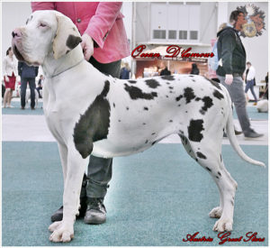 Great Dane female Ocean de L'amour of Austria Great Stars