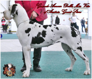 Great Dane female Grand Amour Della Mia Vita of Austria Great Stars