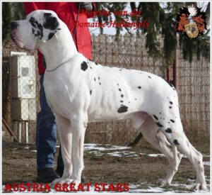 Great Dane Male Majestic von der Domaine Hohlenfels