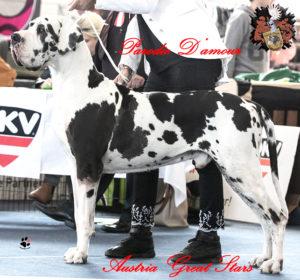 Deutsche Dogge Rüde