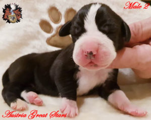 Great Dane male black of Austria Great Stars