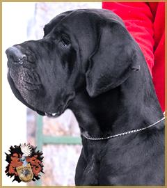 Deutsche Dogge/Great Dane Mon Bijou