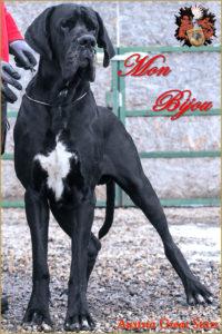 Deutsche Dogge / Great Dane Mon Bijou