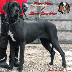 Great Dane Female Forever Fame of Austria Great Stars