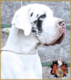Deutsche Dogge / Great Dane One Night Stand