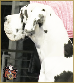 Deutsche Dogge/Great Dane Rüde/Male Parodie D'amour