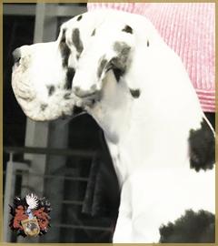Deutsche Dogge/Great Dane Rüde/Male Parodie D'amour