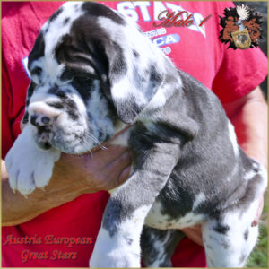 Deutsche Dogge Great Dane Rüde Male
