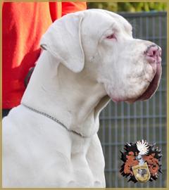 Deutsche Dogge Rüde Garth of Austria Great Stars