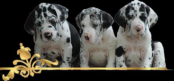 Deutsche Doggen, Welpen, Doggenzucht, Great Dane, Puppies, Rüden, Male, Hündinnen, Female, Ausstellung, Shows