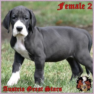 Hündin/Female 2 of Austria Great Stars - reserved