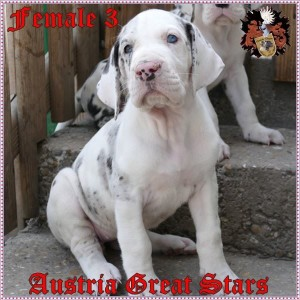 Hündin/Female 3 of Austria Great Stars - reserved