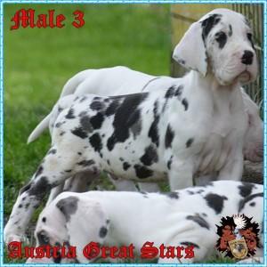 Rüde/Male 3 of Austria Great Stars
