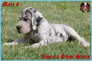 Rüde/Male 6 of Austria Great Stars - reserved