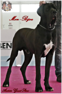 Deutsche Dogge Rüde Mon Bijou