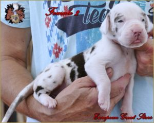 Great Dane Female harlequin