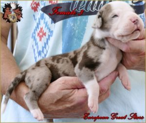 Great Dane Female greytiger