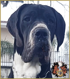 Great Dane Studmale Kion-M