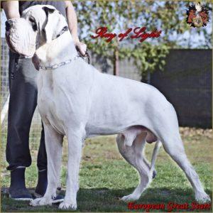 Deutsche Dogge/Great Dane Ray of Light